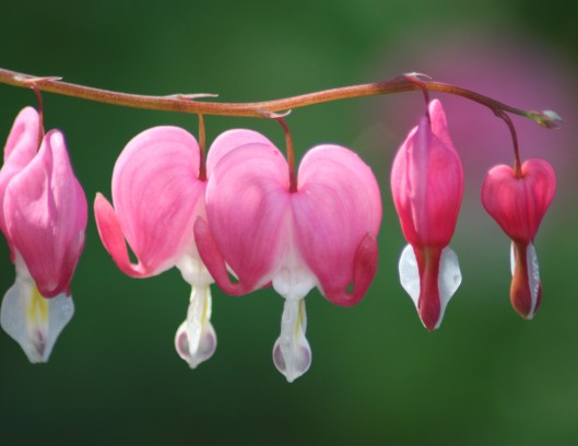 Bleeding Hearts are gorgeous.